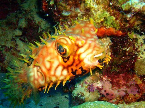 Buddy Dive: Balloonfish