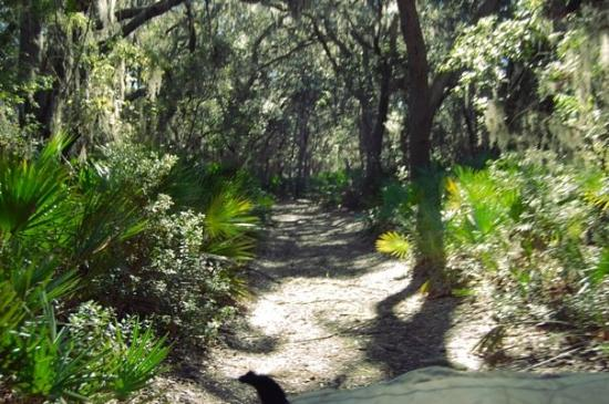Cumberland Island, GA: Road with palmettos alongside and canopy of oaks, cedars and pines