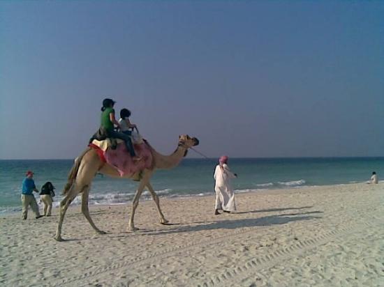 Ajman, Zjednoczone Emiraty Arabskie: Camel. Beach. UAE.