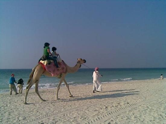 Ajman, Émirats arabes unis : Camel. Beach. UAE.