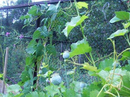 Trzebinia, Polonia: Poppy plants