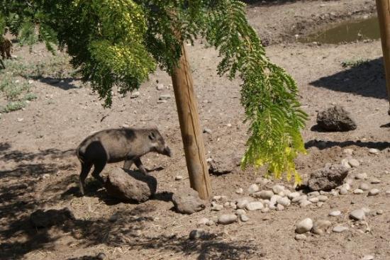 Zoo Boise: Warthog baby