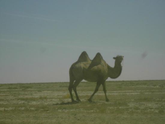 Atyrau, คาซัคสถาน: Wild Camel