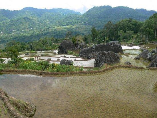 Sulawesi, إندونيسيا: ryzove terasy