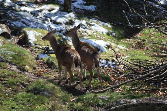 Grandfather Mountain: Deer