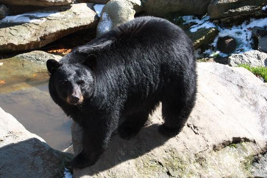 Grandfather Mountain: Another bear