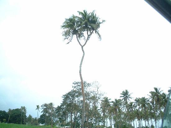Tonga : めずらしいヤシ