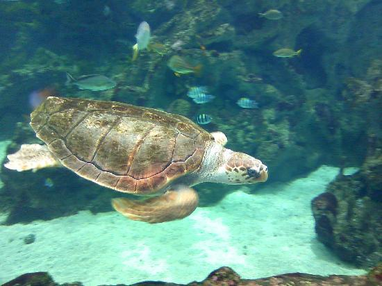 Océanopolis : Sea turtle
