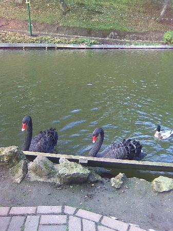 The Toulson Court: swans at peashome