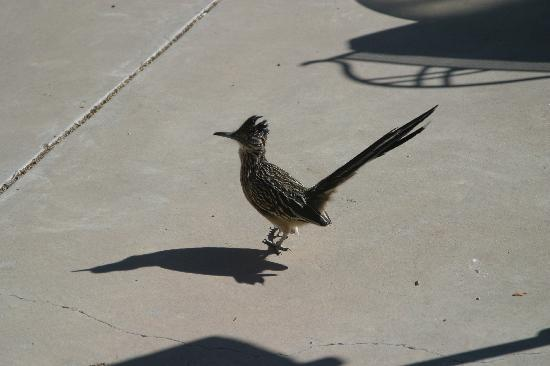 Chocolate Turtle Bed and Breakfast: Hoppy, the roadrunner comes to visit
