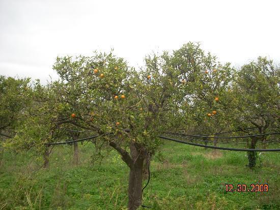 Agriturismo Don Mauro: An orange tree