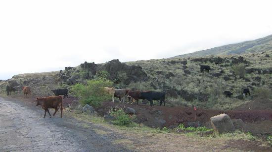 Road to Hana Tours: Cows have a right of way