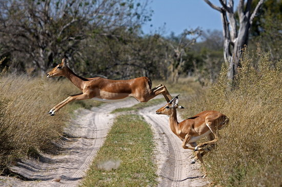 Moremi Game Reserve, บอตสวานา: Impala crossing