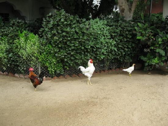 Shahar Palace: Cock-a-doodle do!
