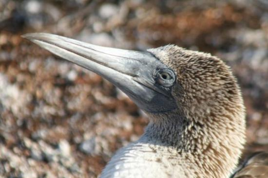 Seymour Island, เอกวาดอร์: Head of a blue-footed boobie