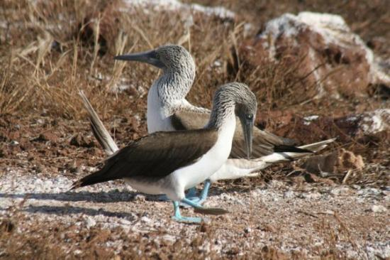 Seymour Island, เอกวาดอร์: Male & female blue-footed boobie