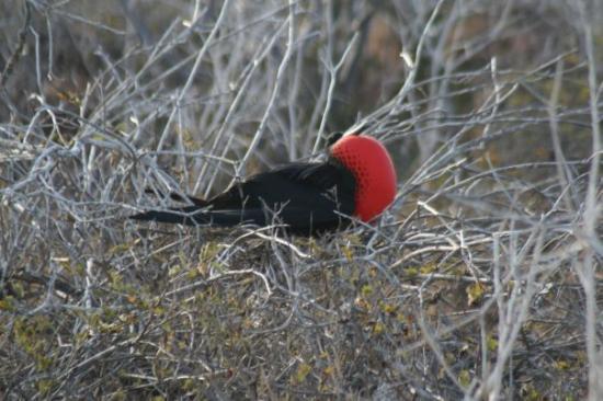 Seymour Island, Ecuador: Male frigate bird
