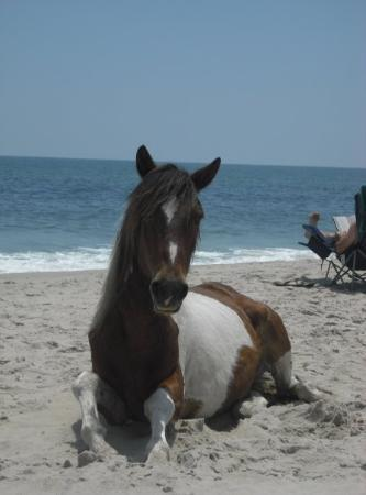 Hotels In Ocean City Md >> Assateague Island Photos - Featured Images of Assateague Island, MD - TripAdvisor