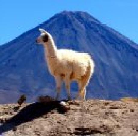 Awasi Atacama - Relais & Chateaux: real LLAMA, and volcano