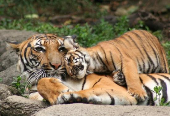 Cincinnati Zoo & Botanical Garden: Mother and cub sharing a loving moment at the Cincinnati Zoo