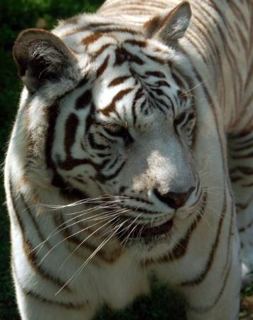 Potawatomi Zoo : white tiger