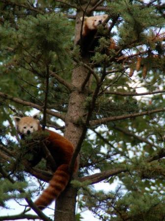 South Bend, IN: two red pandas