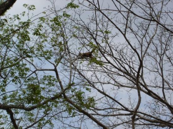 El Baul, Venezuela: Mono Capuchino