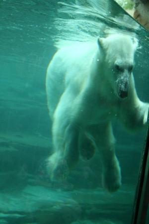 Memphis Zoo: Polar bear