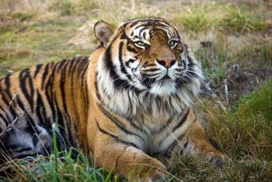 Orana Wildlife Park: Sumatran TigerThrough glass - Orana Park, Christchurch
