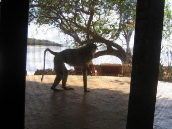 Gazi, Kenya: Baboon on the terrace