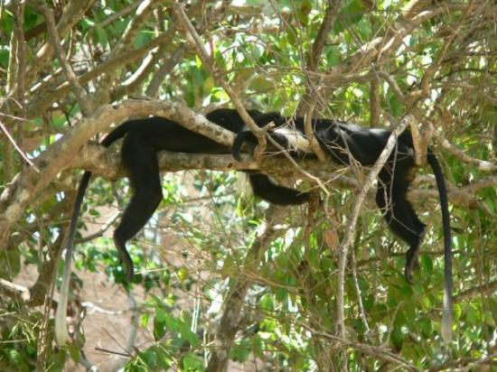 Gazi, Kenya: Colobus Monkey sleeping ;-)