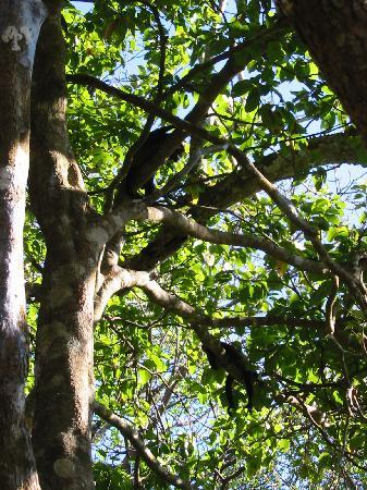 Tambor, Costa Rica: howler monkeys hanging around above the pool