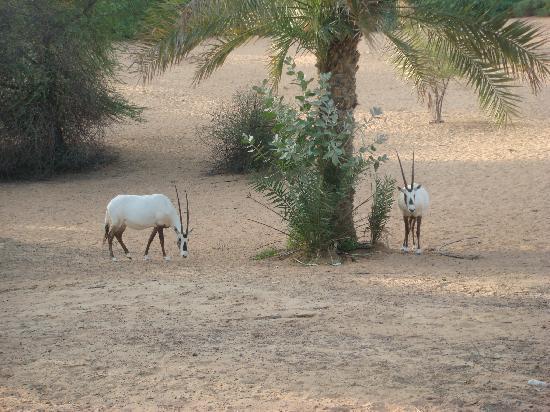 Al Maha, A Luxury Collection Desert Resort & Spa: Oryx