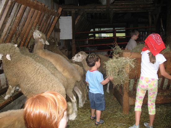 Mountain Dale Farm : Feeding the sheep and goats