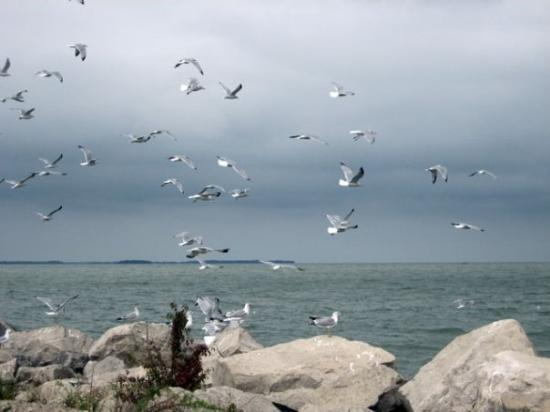 Kelleys Island, OH: Seagulls in flight,  Kelley's Island,