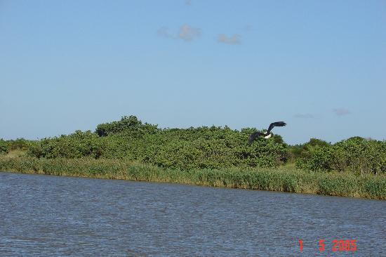 Elephant Lake Hotel: Fish Eagle in flight at the estuary