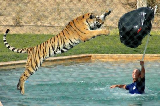 Out of Africa Wildlife Park: Tiger Splash Show