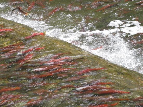 Kaslo Hotel: Salmon Run