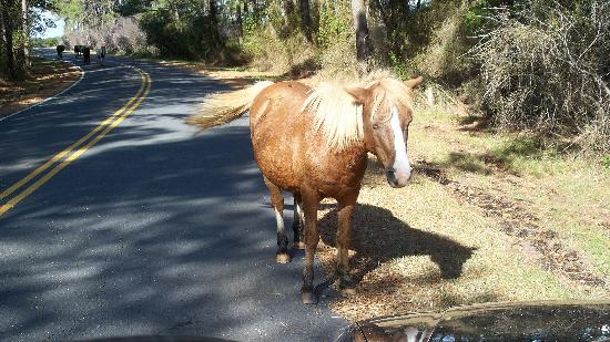 Assateague Island, แมรี่แลนด์: Pack leader coming to greet us!