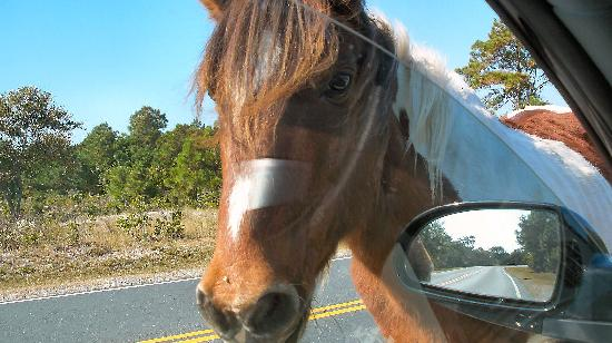 Assateague Island, แมรี่แลนด์: Checking us out in the car