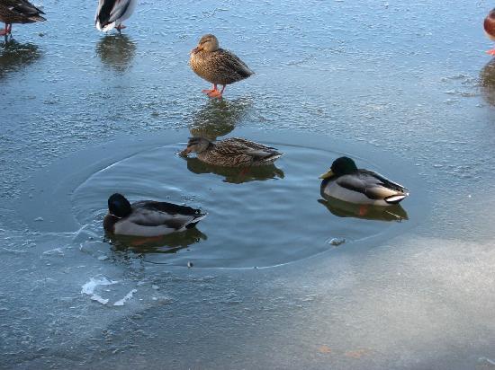 Lake of the Woods Resort : we love watching the ducks