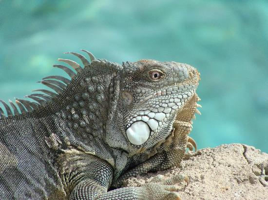 Baoase Luxury Resort: great iguanas