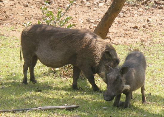 Bonamanzi Game Reserve: Warthogs outside our rooms