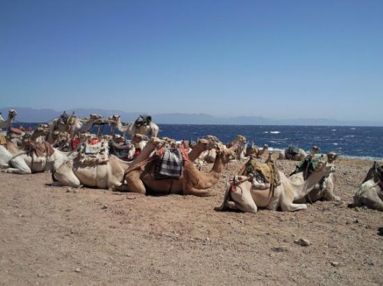 Nuweiba, อียิปต์: Like damn got enough camels!