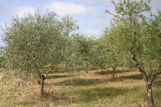 Aia Vecchia di Montalceto: surrounding olive groves