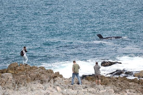 Brown Jug Guest House: Whale watching at Hermanus
