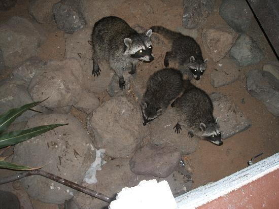 Golden Nugget Laughlin: Racoons along river walk