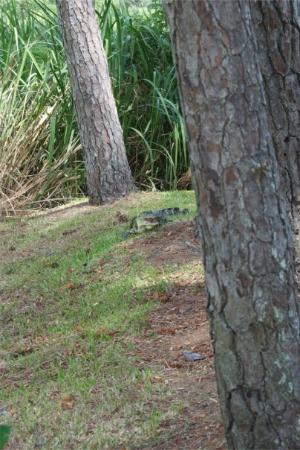 Avery Island, หลุยเซียน่า: Another alligator