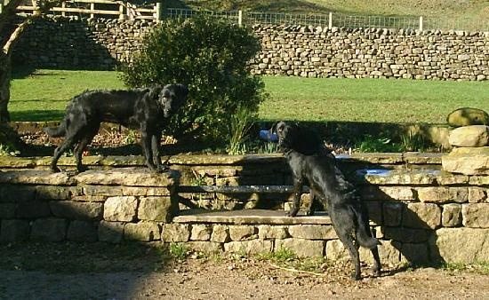 Turnerford Fold : Two tail-waggers,momentarily still