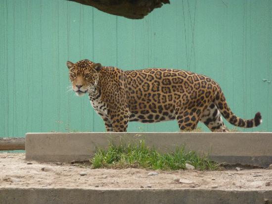 Parque de las Leyendas (Zoo): el jaguar